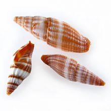 Plecarium stripe shell wholesale