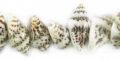 Tiger nassa shell -light shade wholesale beads
