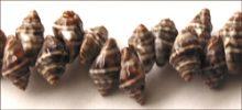 Black nutmeg shell rough wholesale beads