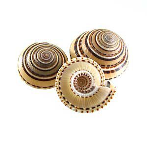 Sundial Shell Pendant wholesale beads